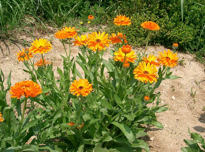 Make Your Own Calendula Oil – Calendula Nature's Incredible Healer