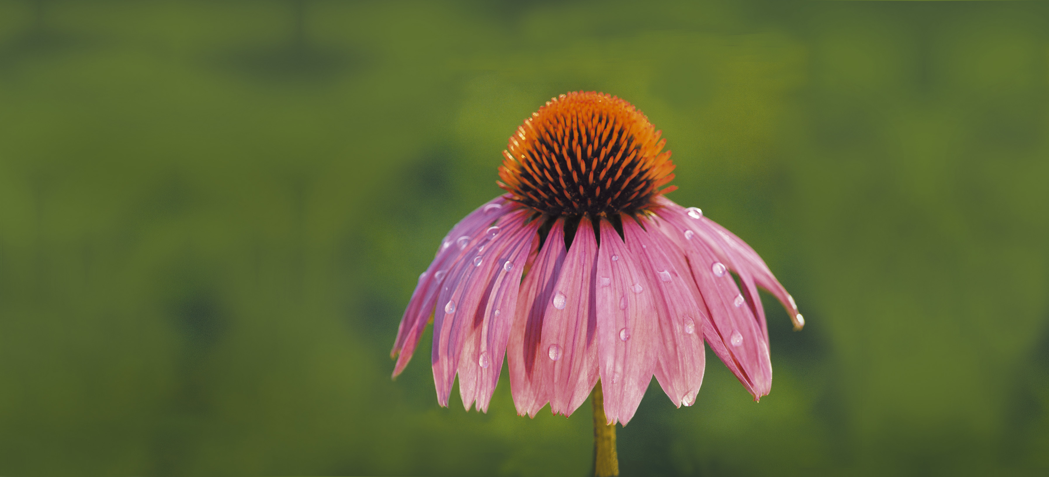 How To Choose Your Echinacea For This Winter